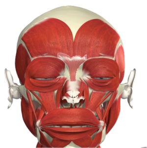 Facial Muscle Anatomy