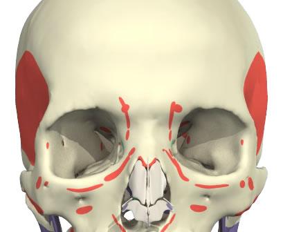 Glabellar complex muscles attachments