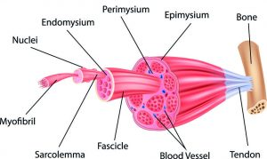 Muscle Types and Anatomy